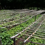 Seedlings growing in rows and uncovered from protective grasses due to start of rainy season